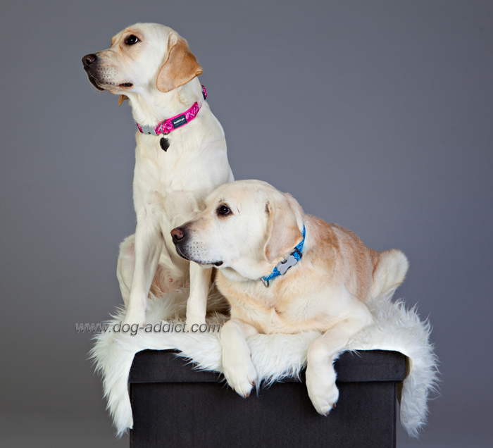 reflective dingo harness weimaraner harness elsavadorla. Black Bedroom Furniture Sets. Home Design Ideas
